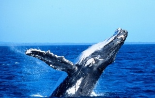 Resize_-_Whale,_Hervey_Bay_credit_Tourism_and_Events_Queensland